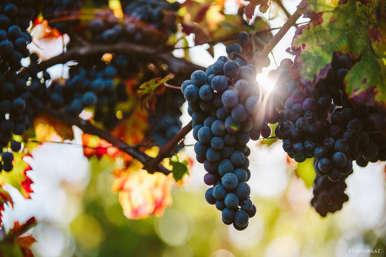 Raisins des vignes de la Cave Irouléguy au Pays Basque